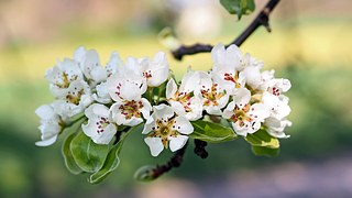 apple-blossoms-1368195__180.jpg